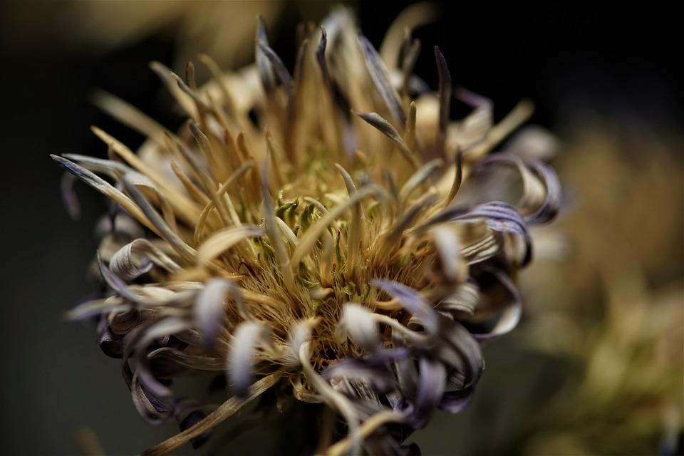 Dry Flower, Dry, Bloom, Flora, Botany, Nature, Macro