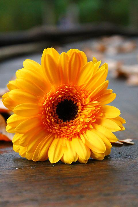 Gerbera, Nature, Blossom, Bloom, Flower, Close, Orange