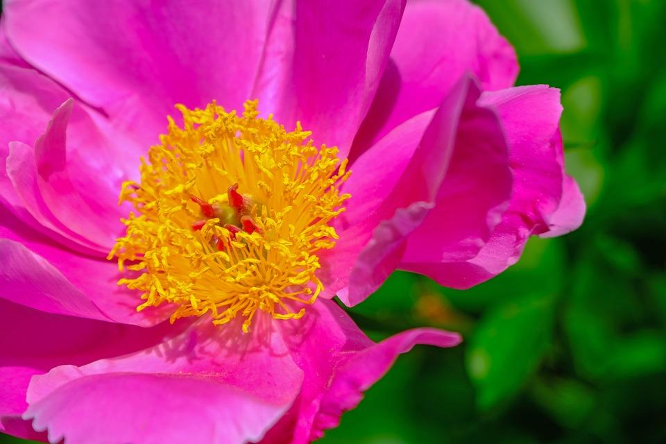 Flower, Nature, Peony, Blossom, Bloom, Bloom, Pink