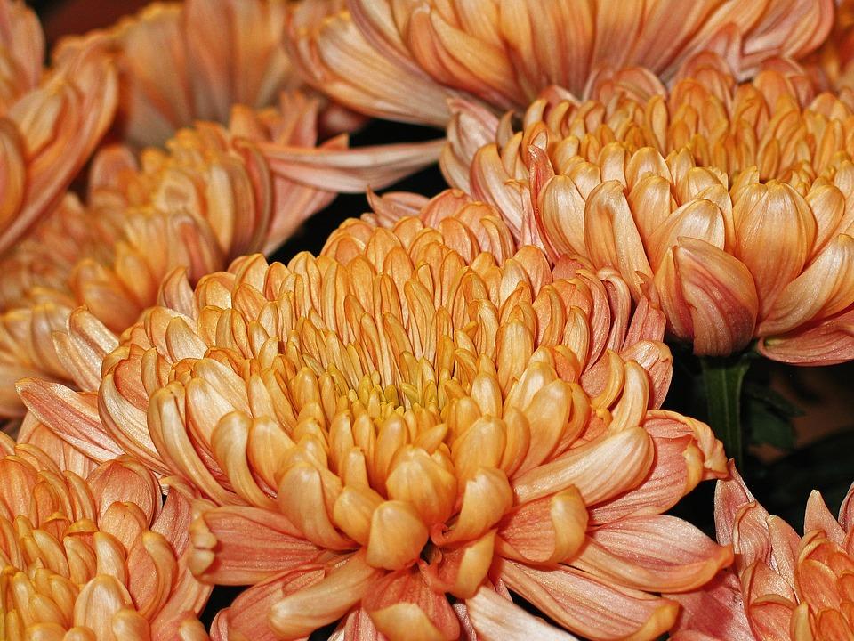 Chrysanthemums, Flowers, Plant, Blossom, Bloom, Nature