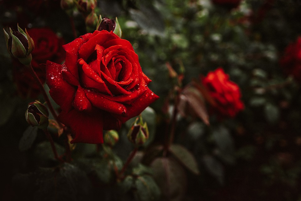 Flowers, Roses, Bush, Red, Nature, Bloom