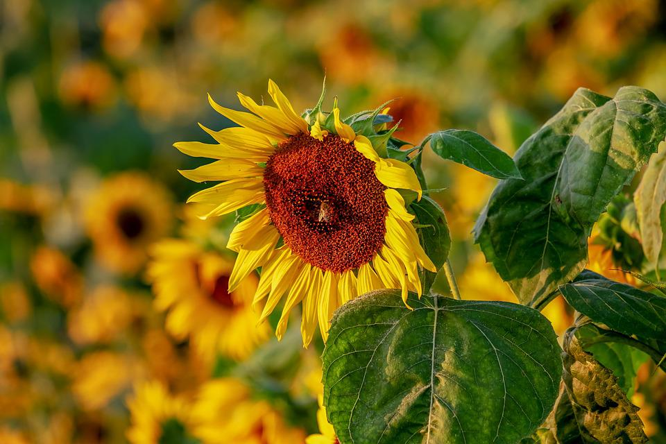Sunflower, Helianthus, Flowers, Bloom, Nature