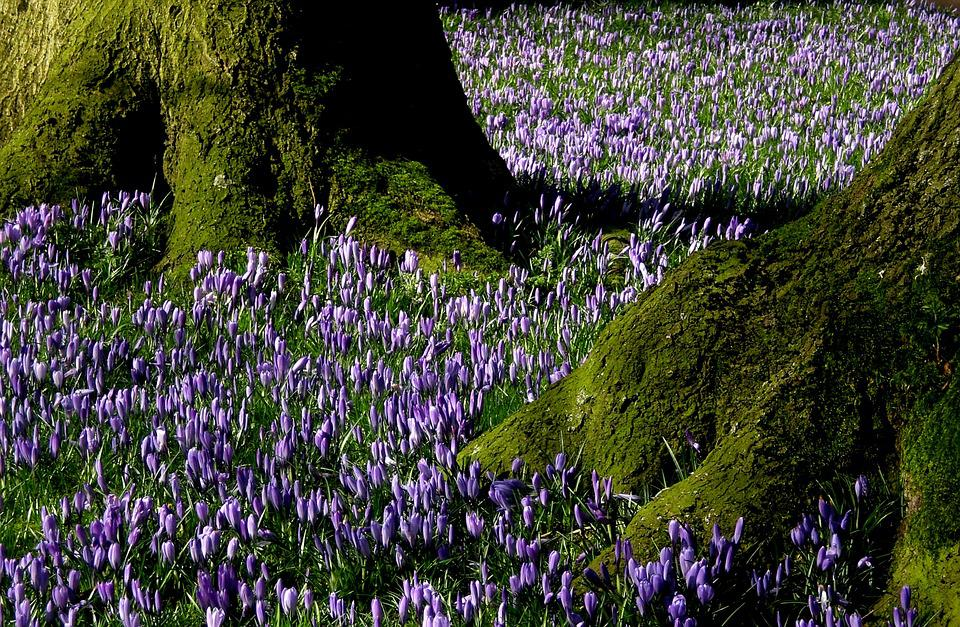 Nature, Flowers, Crocus, Blossom, Bloom, Husum