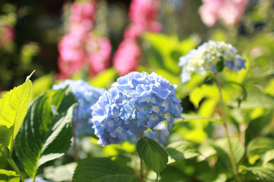 Hydrangea, Flower, Flowers, Blue, Bloom, Nature, Plant