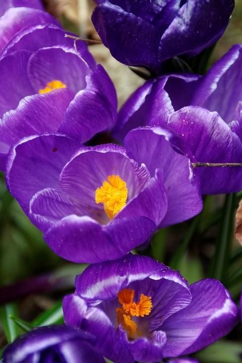 Crocus, Flowers, Purple, Blossom, Bloom, Spring, Nature