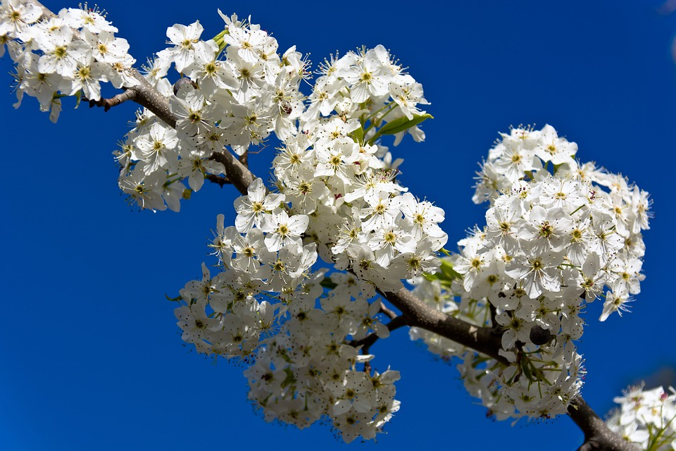 Flower, Branch, Nature, Cherry, Flora, Blooming, Tree