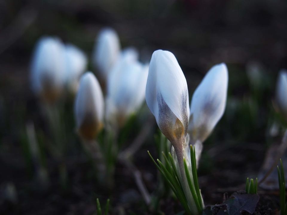Free Photo Nature Blooming Krokus Flower Spring Flowers Max Pixel