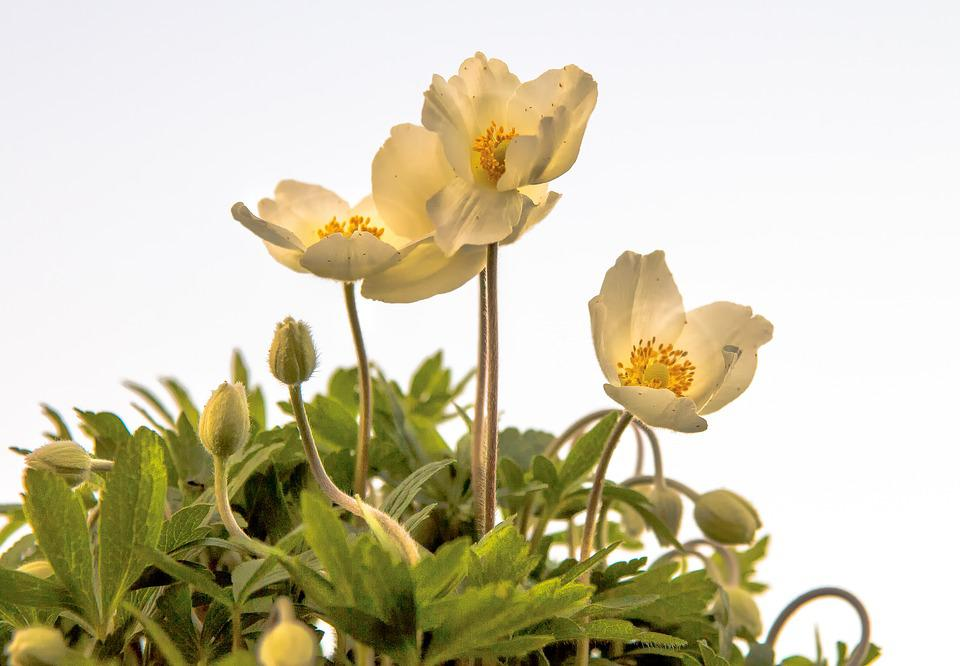 Anemone, Plant, Blossom, Bloom, Nature, White, Yellow
