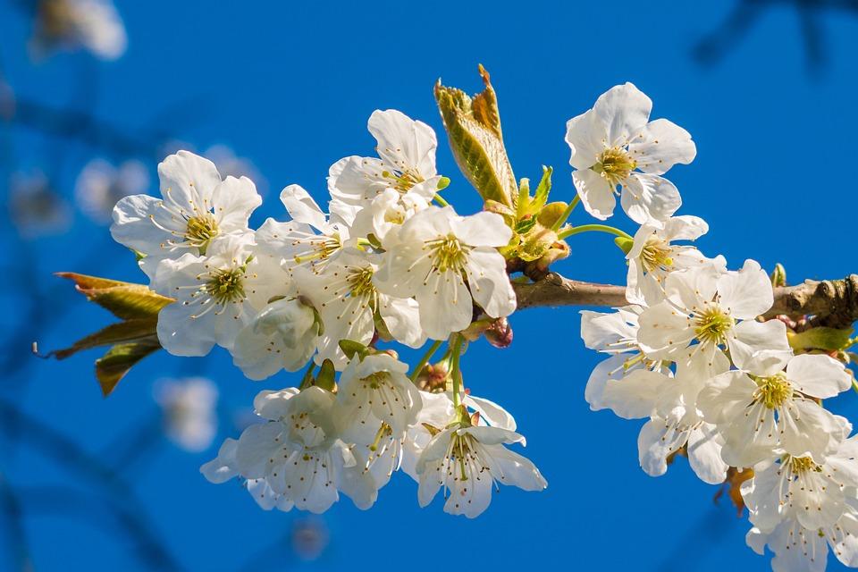 Blossom, Bloom, Nature, Plant, Cherry Blossom, Spring