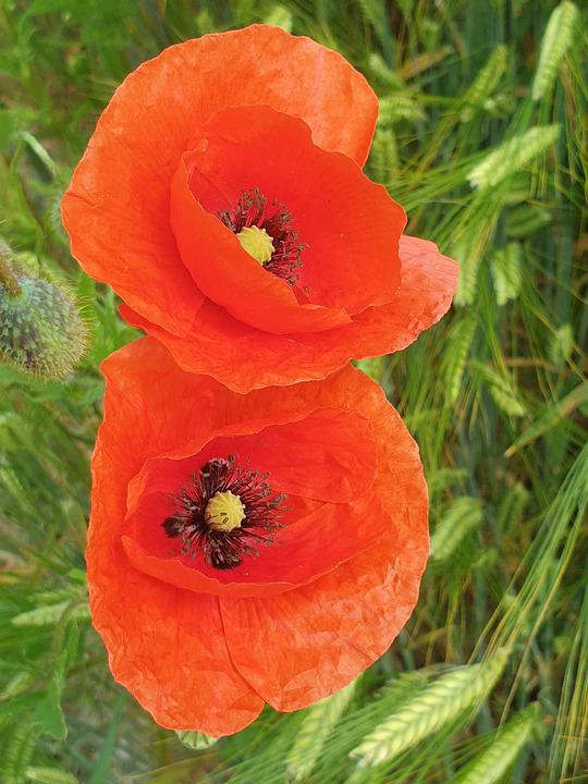 Poppy, Flower, Cereals, Nature, Green, Blossom, Bloom