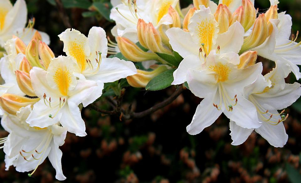 Rhododendron, Flower, Blossom, Bloom, Nature, Plant