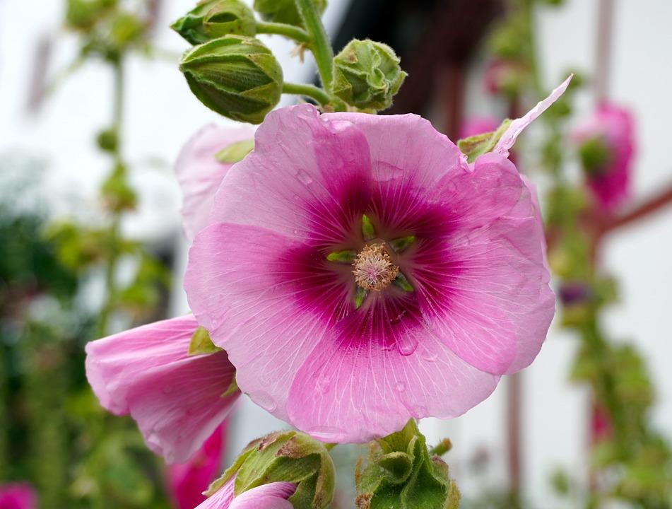 Stock Rose, Blossom, Bloom, Flower, Nature