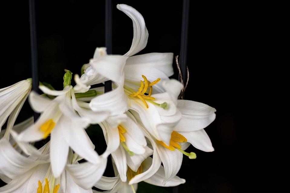 Lily, Flower, Blossom, Bloom, Nature, Garden, White