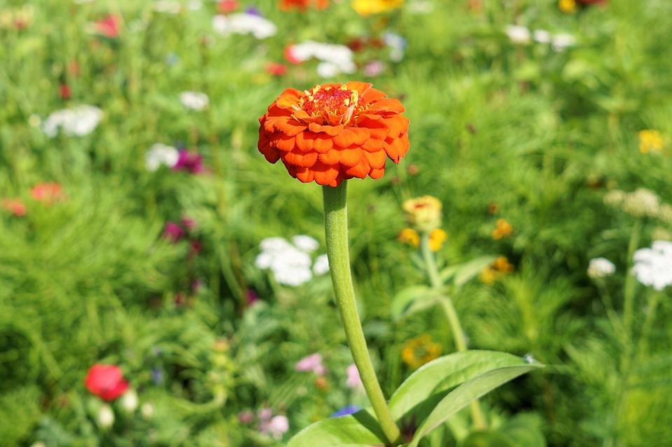 Flower, Blossom, Bloom, Meadow, Nature, Summer, Field