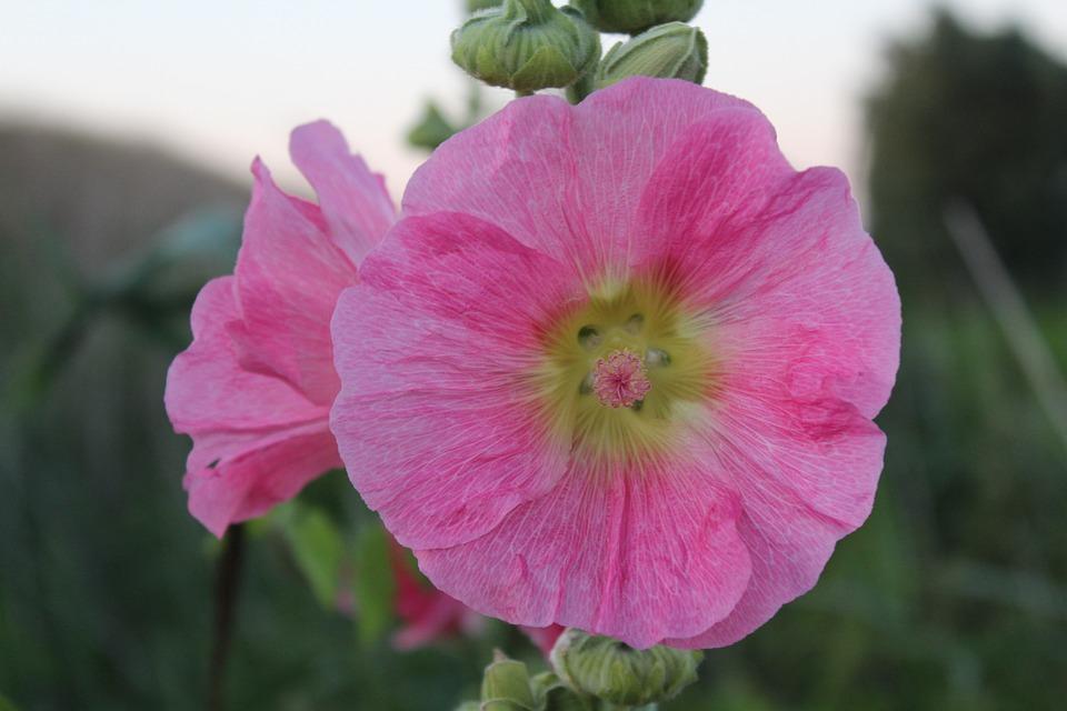 Mallow, Blossom, Bloom, Nature, Purple, Plant