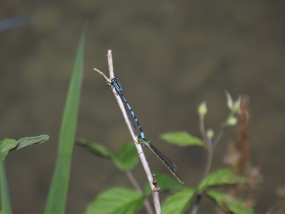 Blue Bar Bubble, Dragonfly, Insect, Nature, Macro
