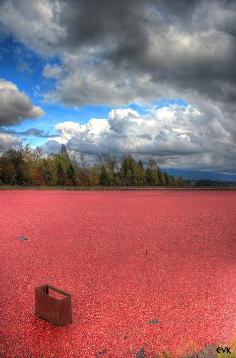Cranberries, Field, Farm, Clouds, Blue, Nature