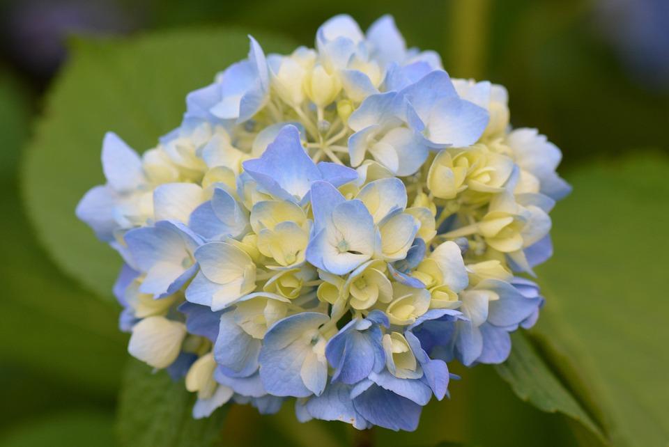Flower, Nature, Blue Flower, Hydrangea