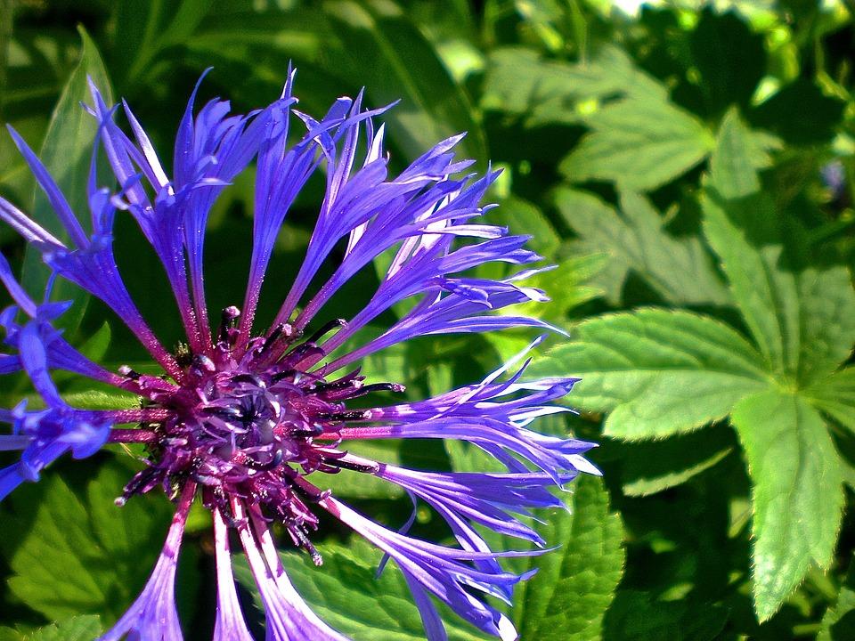 Blue Mountain Cliff, Cyanus Montana, Flower, Nature
