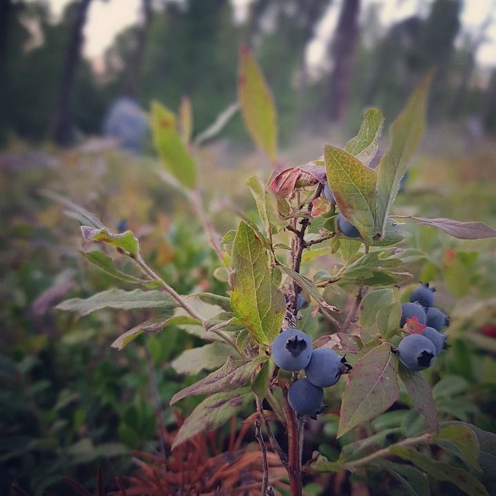 Blueberries, Blueberry Bush, Berry Picking, Nature