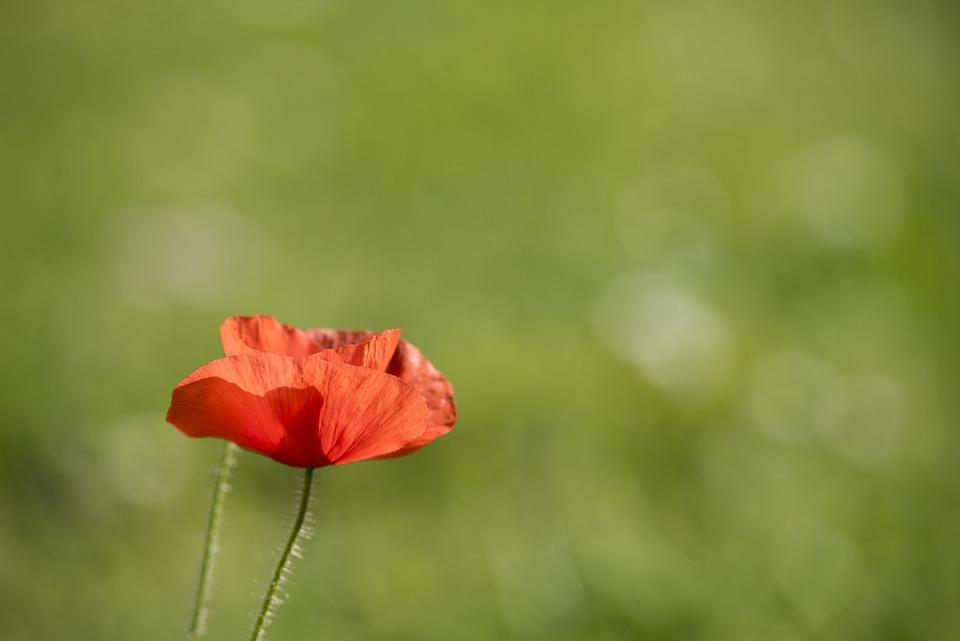 Flower, Nature, Plant, Summer, Grass, Poppy, Blur