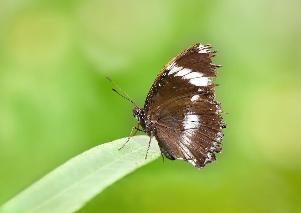 Butterfly, Kelebek, Macro, Doğa, Nature, Böcek, Tırtıl