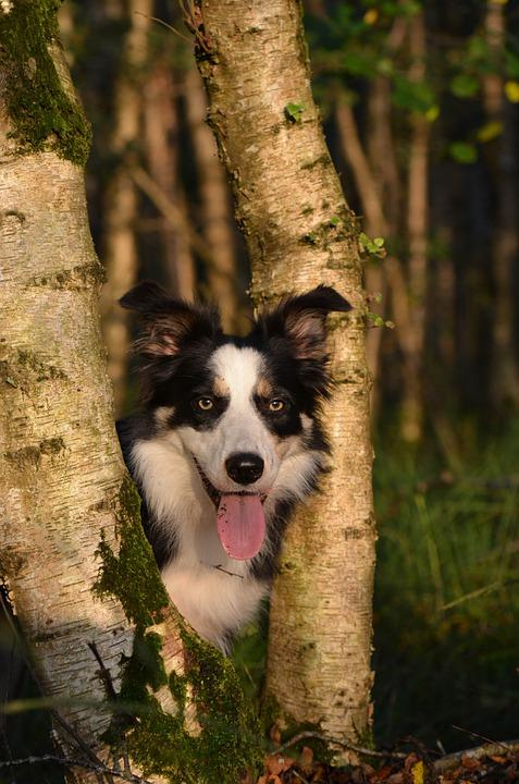 Autumn, Dog, Nature, Forest, Border Collie, Sun