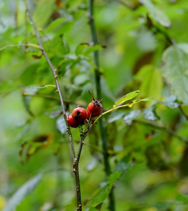 Rosehips, Fruits, Branch, Nature, Autumn, Leaves, Flora