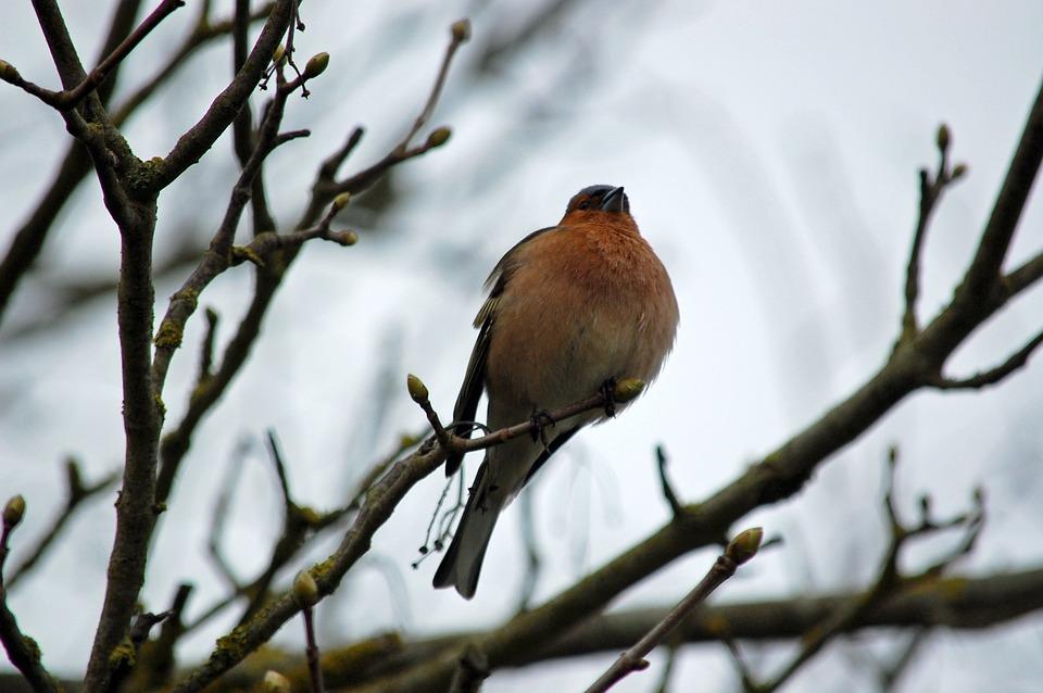 Robin, Branch, Bird, Nature