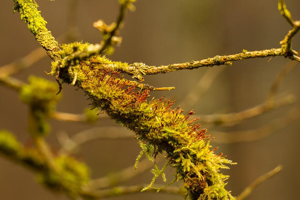 Moss, Branch, Forest, Nature, Bemoost, Branches