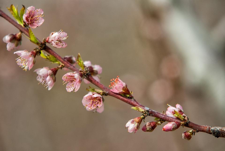 Flower, Cherry, Branch, Nature, Tree, Flowering, Peach