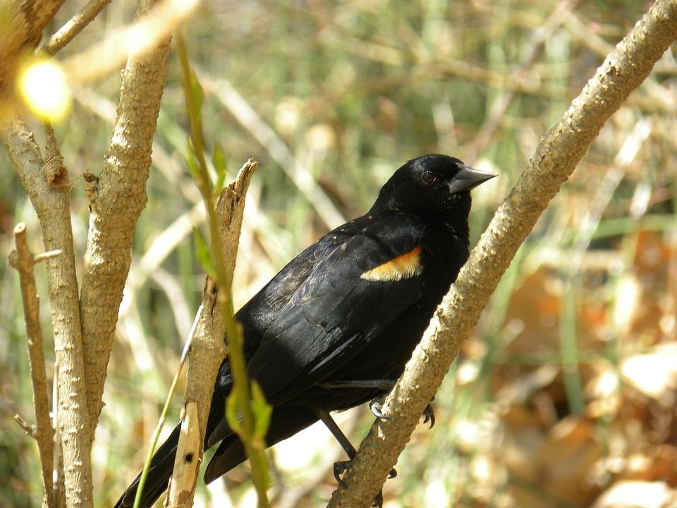 Red-winged, Blackbird, Animal, Nature, Branch, Birds
