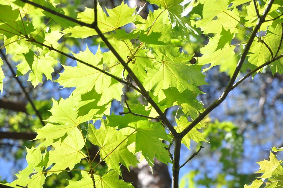 Maple Leaves, Tree, Branch, Green, Nature, Sunlight