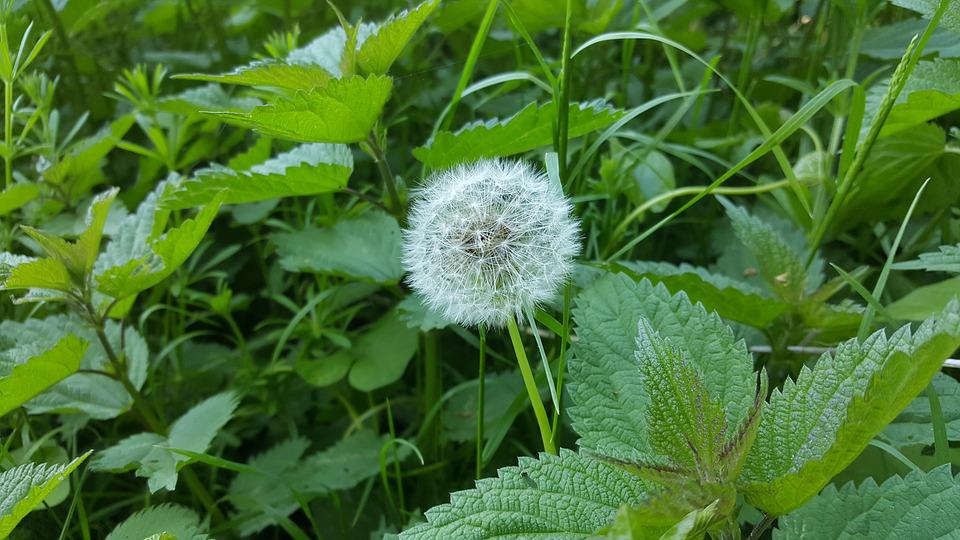 Dandelion, Wishes, Herbs, Brennessel, Meadow, Nature