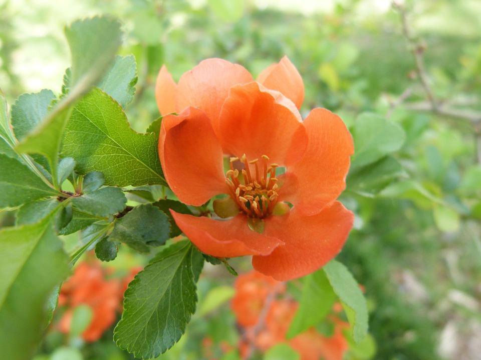 Flower, Bright, Nature, Petals, Beautiful, Wild Pear