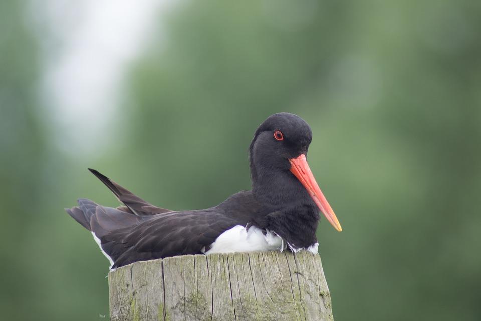 Oystercatcher, Bird, Nature, Wildlife, Britain