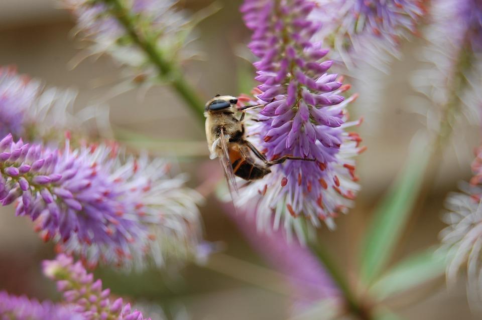 Bee, Bumblebee, Bug, Nature, Close Up