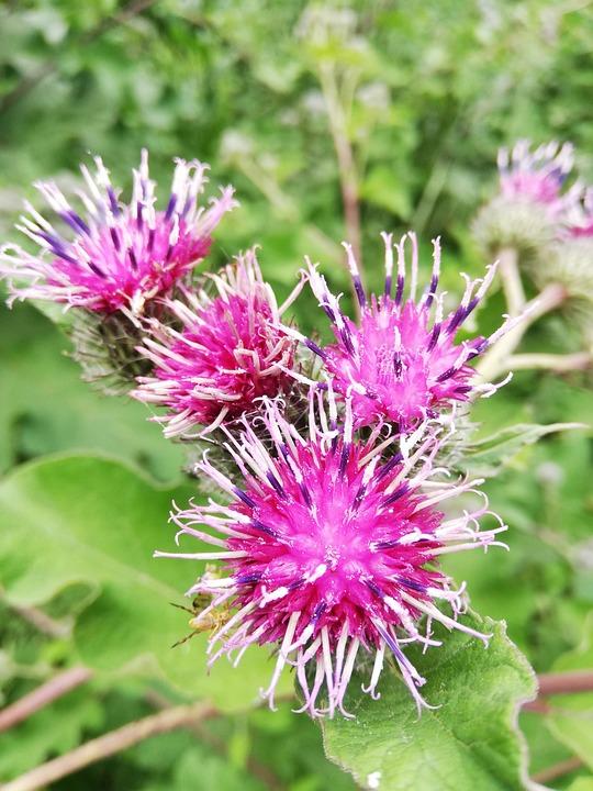 Repah, Agrimony, Flowers, Burdock, Day, Nature, Bush