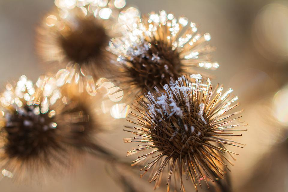 Burdock, Plant, Frost, Snow, Cold, Faded, Dry, Nature