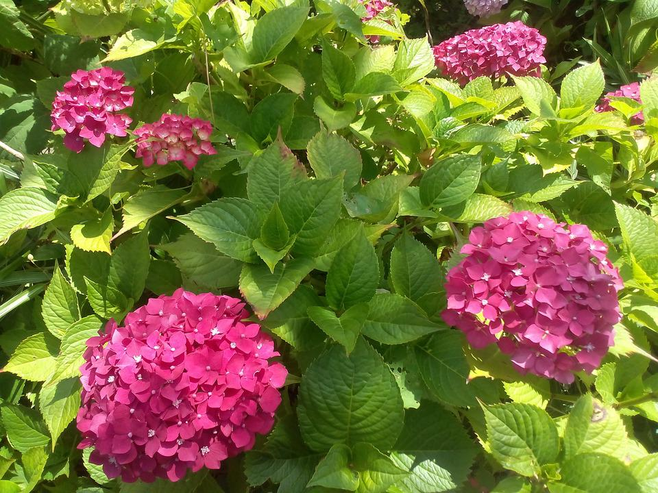 Hydrangea, Flowers, Garden, Bush, Pink, Nature