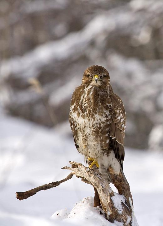 Buzzard, Bird, Buteo Buteo, Winter, Nature, Predator