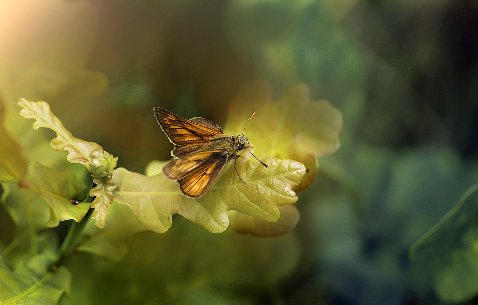 Butterfly, Insect, Nature, Butterflies, Summer, Wings