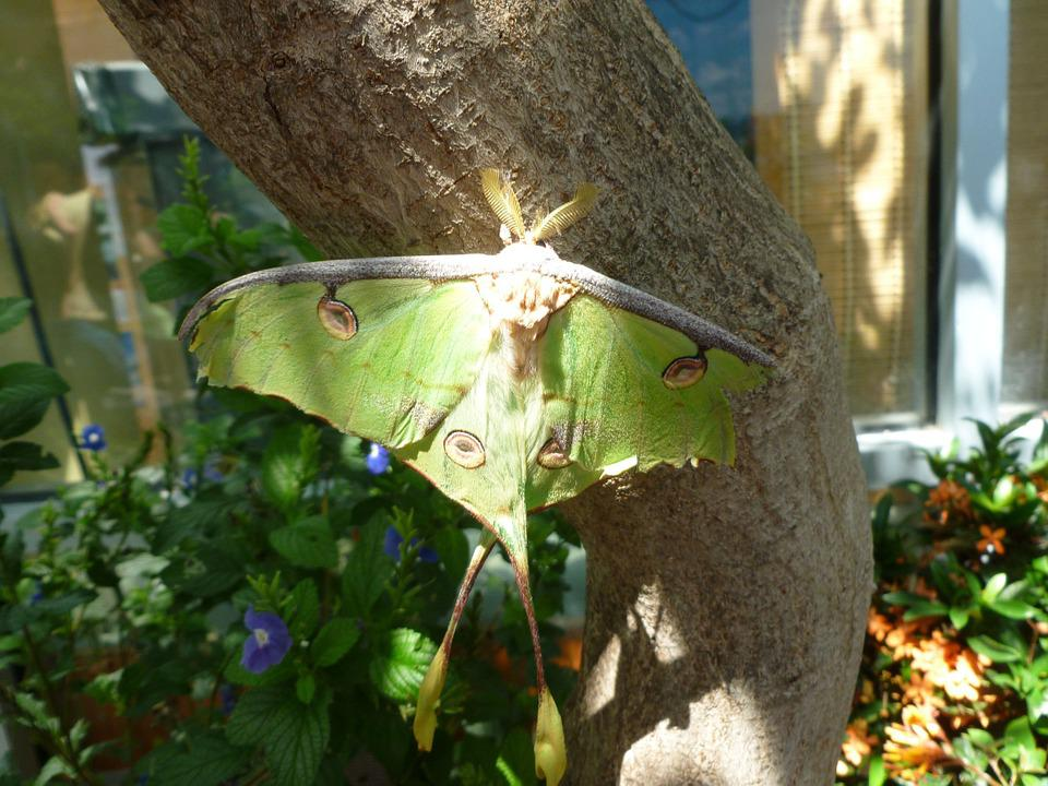 Butterfly, Luna Moth, Nature, Green