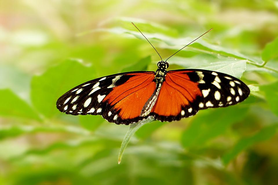 Nature, Insect, Butterfly, Painted Lady, Lepidoptera