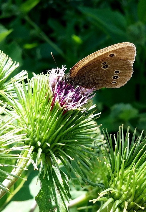 Insect, Butterfly, Nature, Summer, Wing