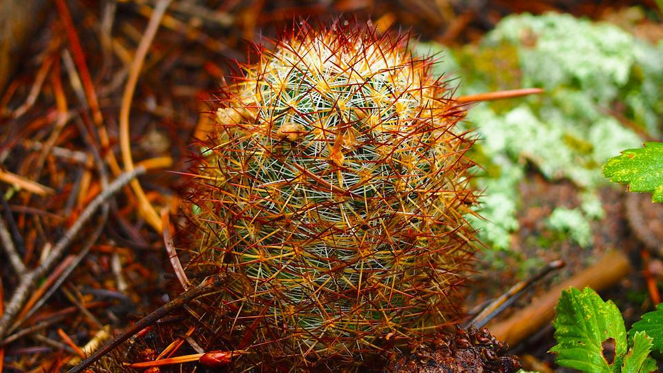 Cactus, Nature, Outdoors, Plant, Colorful Cactus
