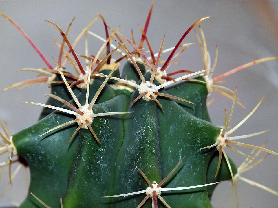 Cactus, Succulent, Plant, Nature, Green, Botany, Flower