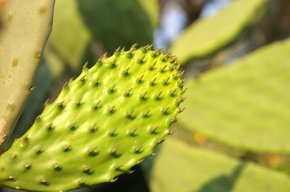Cactus, Nature, Plant, Fruit, Food, Prickly Pear, Green
