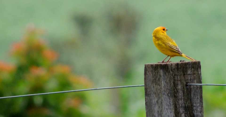 Nature, Bird, Canary, Tropical Birds