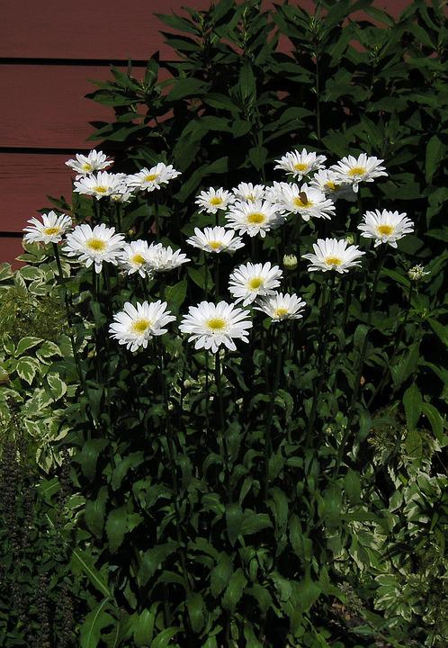 White, Daisy, Group, Flower, Beauty, Nature, Candid